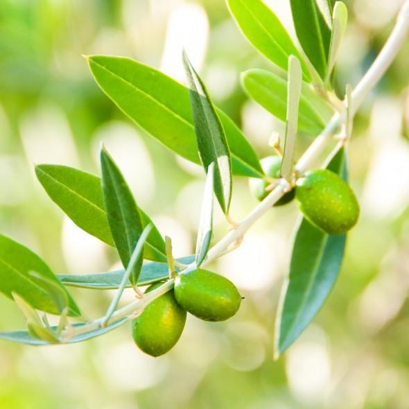olive_arije_2